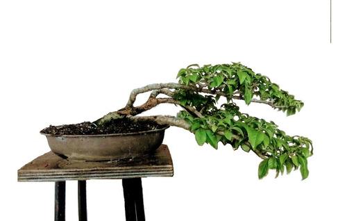 bonsais grandes pequeños