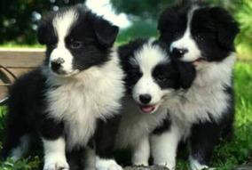 Border Collie Adorables Cachorros