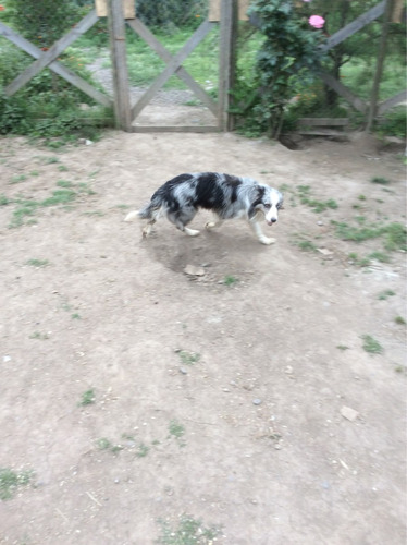 border collie blue merle para cruza