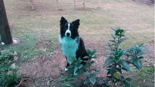 border collie busca novia, para monta