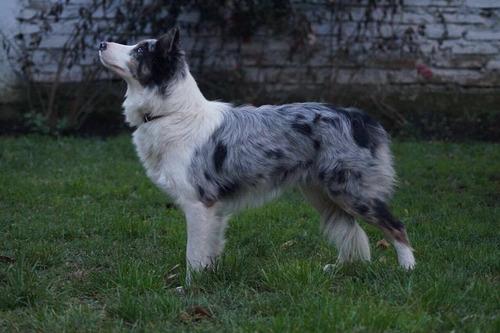 border collie hermosas cachorras inscritas