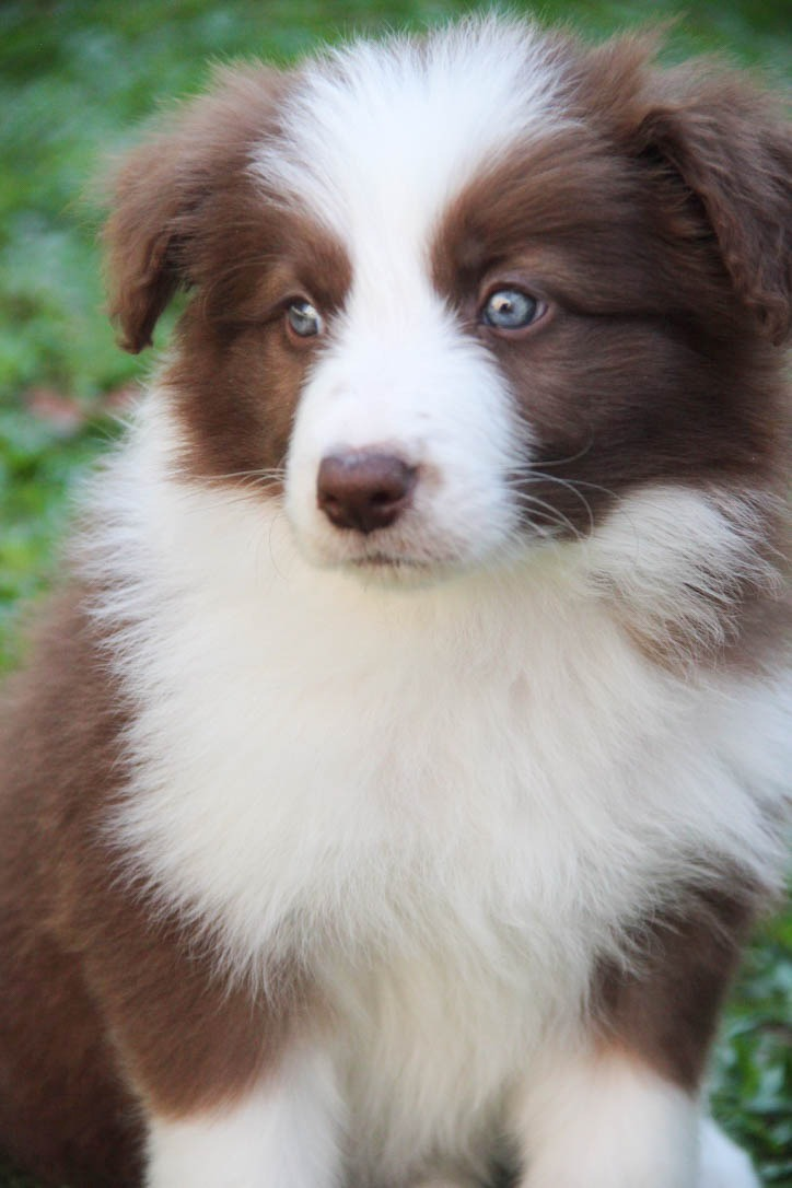 D B Farm Border Collies Border Collie Marrom C...