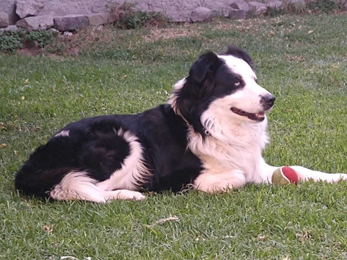 border collie para monta