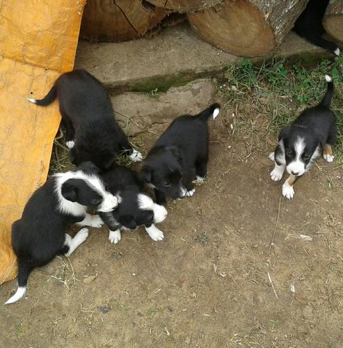 border collie perros