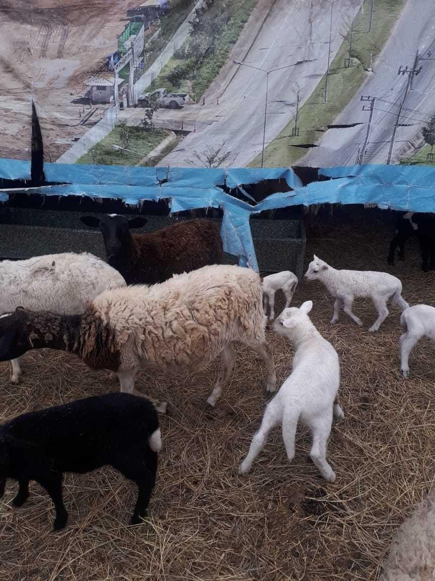 borregas dorper y katahdin