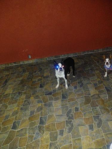 boston terrier cachorros