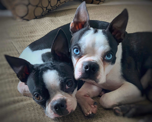 boston terrier monta