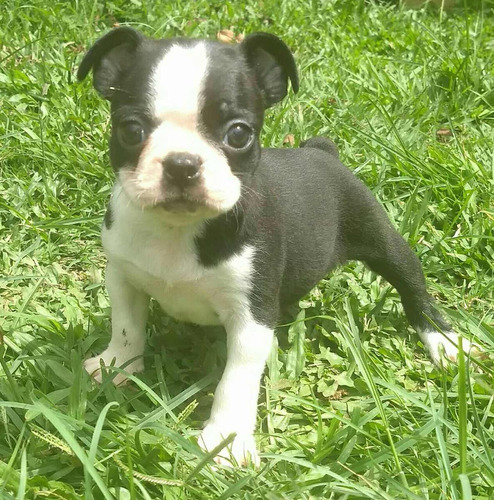 boston terrier rojos