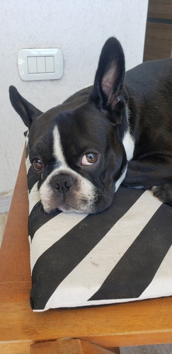 boston terrier (servicio)