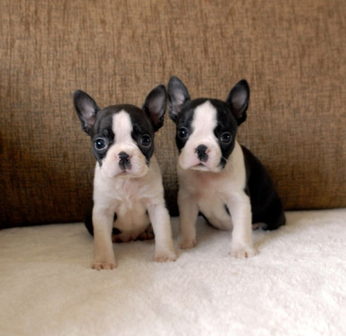 boston terriers listo para salir