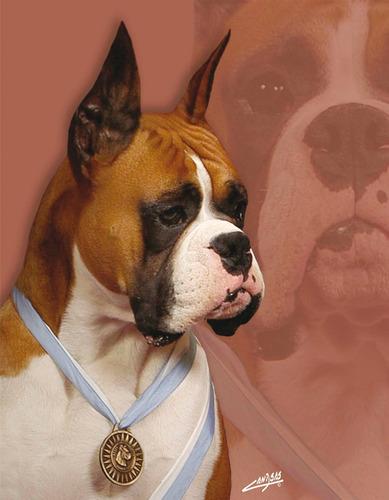 boxer cachorros bayos y atigrados linea rockefeller willsam