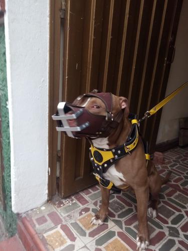 bozal pitbull tipo máscara  ¡  espectacular !