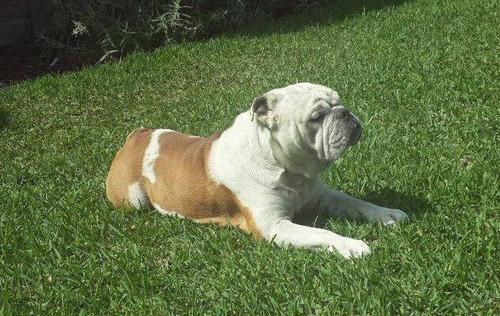 brindo servicio de monta bulldog ingles full pedigrí