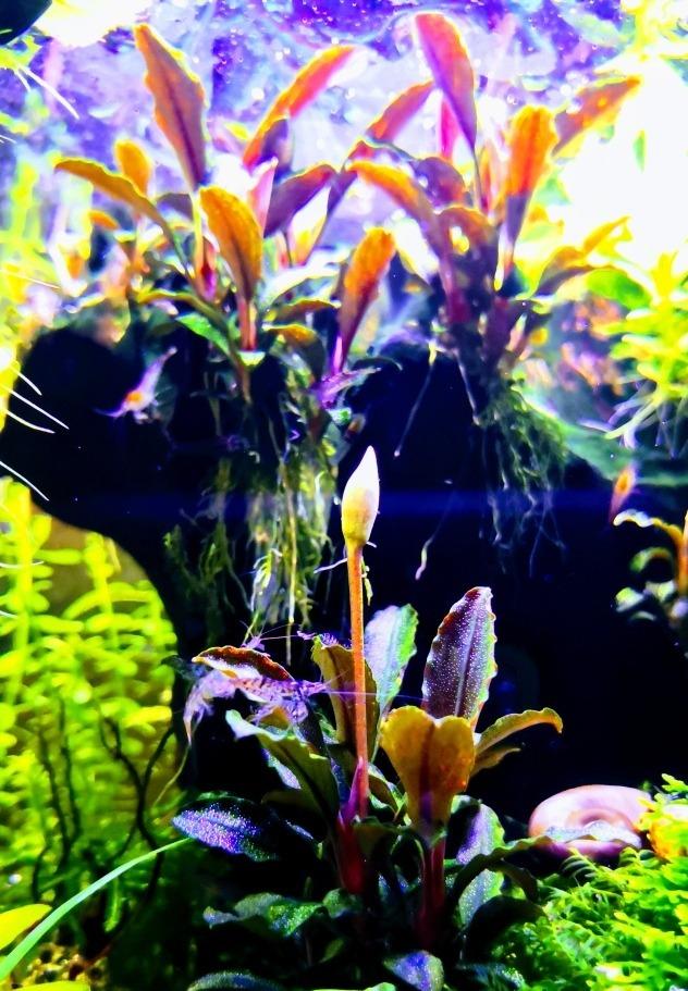 Eriocaulon Semillas 16 especies de plantas acuáticas Acuario En Vivo!!!