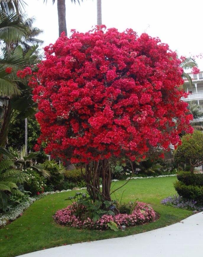 Bugambilia preguntar por tama o deseado jard n rbol - Arboles jardin ...