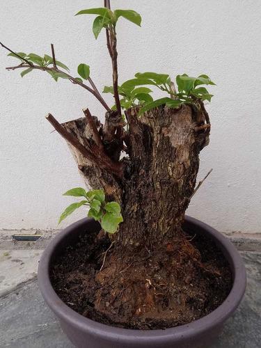 bugambilia yamadori, de 30 años para proyecto bonsai.