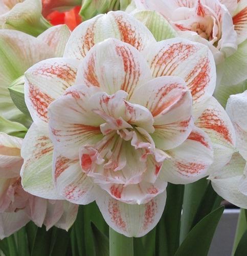 bulbo amaryllis dobles exoticos gigante x 1  bulbos-semillas