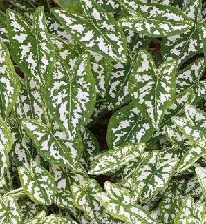 bulbo - caládio verde miniatura - caladium - 12,90 cada!