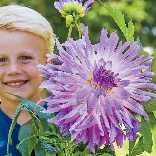 bulbos dahlias gigantes 25 cm de flor x 1 bulbos-semillas