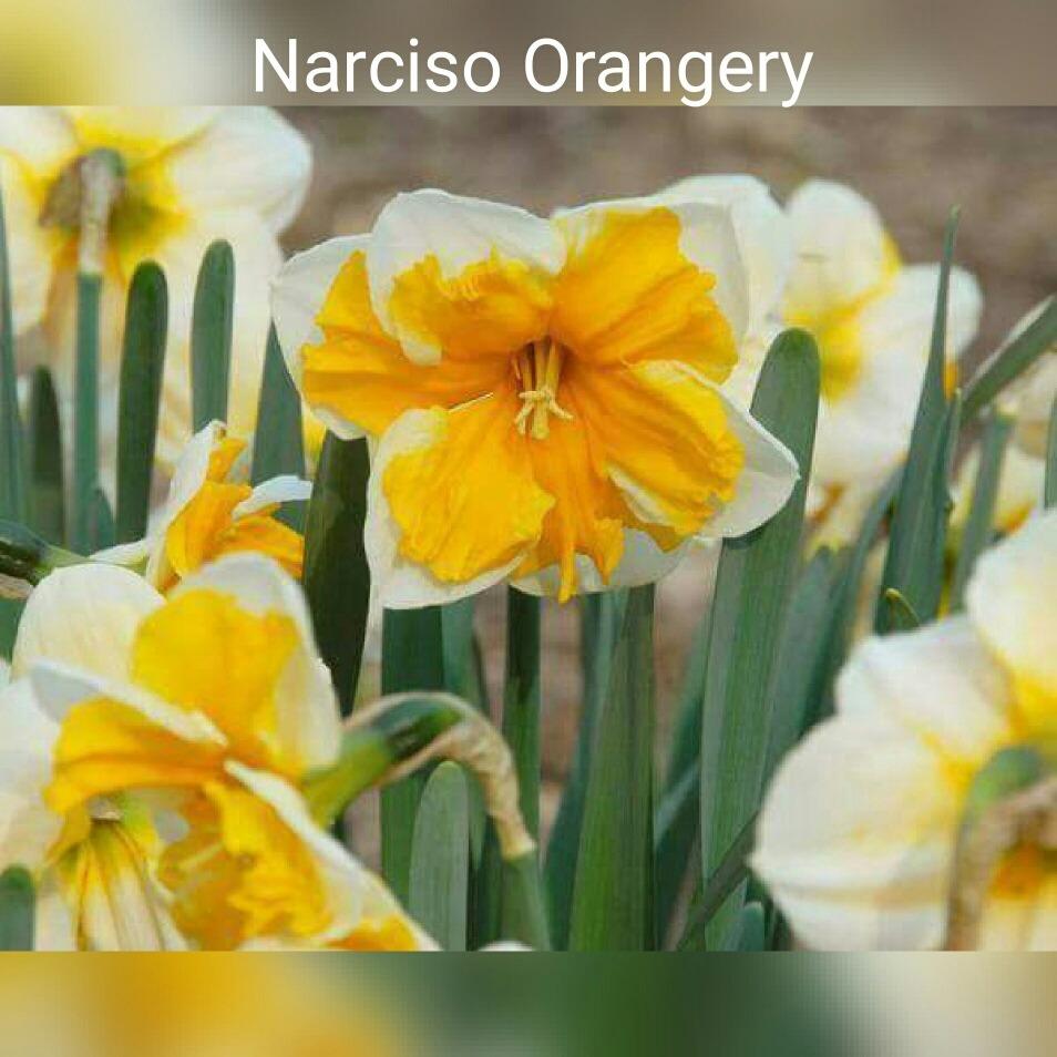 Bulbos De Narcisos 7500 en Mercado Libre