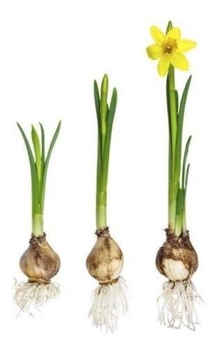 bulbos de narcisos