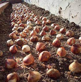 bulbos de tulipán holandeses