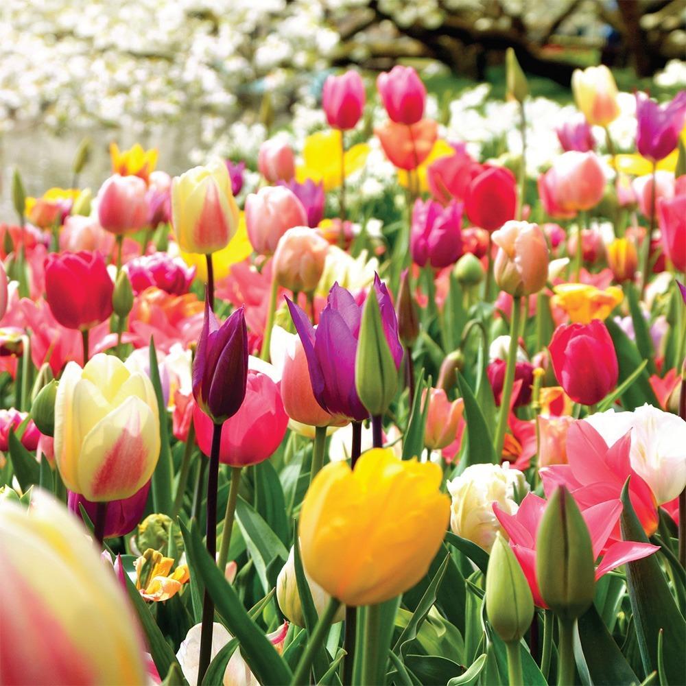 20 Bulbos de Tulip/àn AMARILLO GOLDEN APELDOORN Bulbos de alta calidad Holandesa