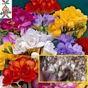 Bulbos Fresias Jumbo Dobles Perf Holandax 10 Bulbos-semillas