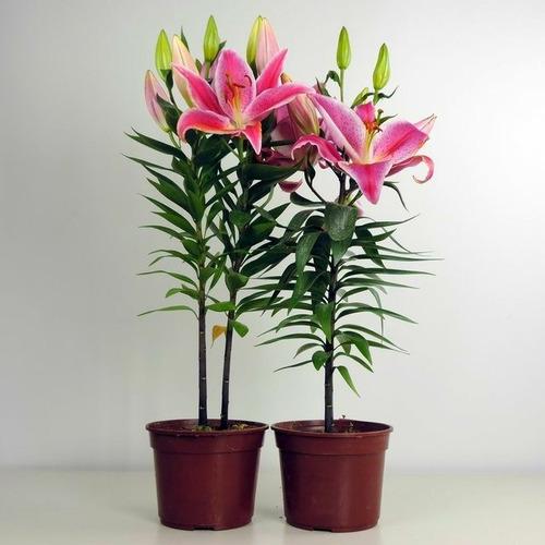 bulbos / semillas de lilium tigre fuccia perfumado