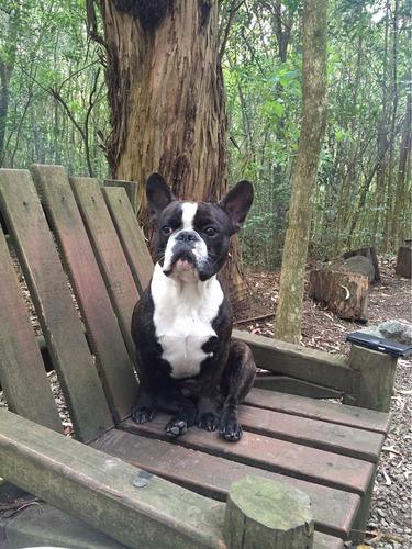 bull dog francés con kcu para servicio de monta