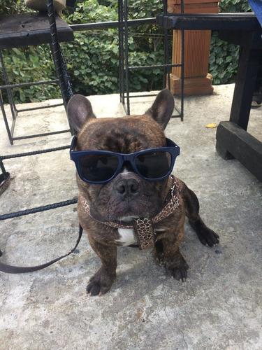 bull dog frances - tabasco - busca novia en cali