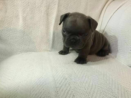 bull french centro canino yo soy tu amigo fiel
