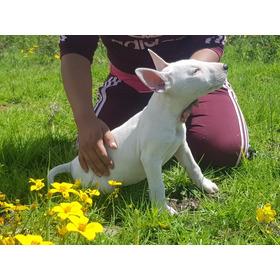 Bull Terrier  Envíos Y Entregas A Todo El País