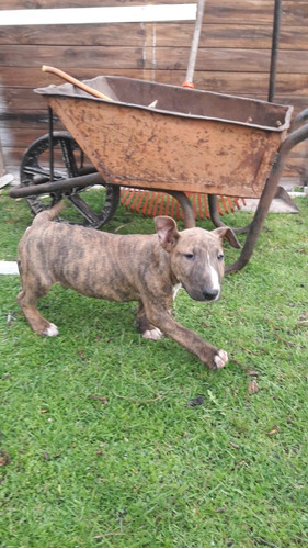 bull terrier cachorro 60 dias