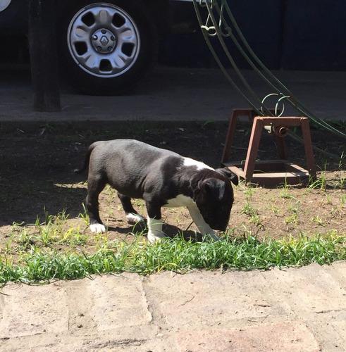 bull terrier cachorros con fca exc ejemplars la mejor geneti