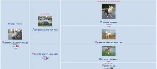 bull terrier cachorros inscritos