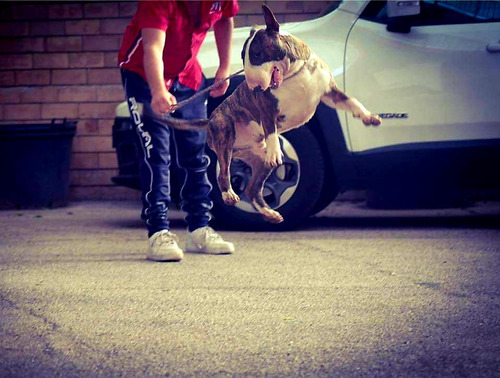 bull terrier criadero héroes. excelentes!!