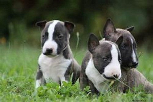 bull terrier ingles cachorros hermosos
