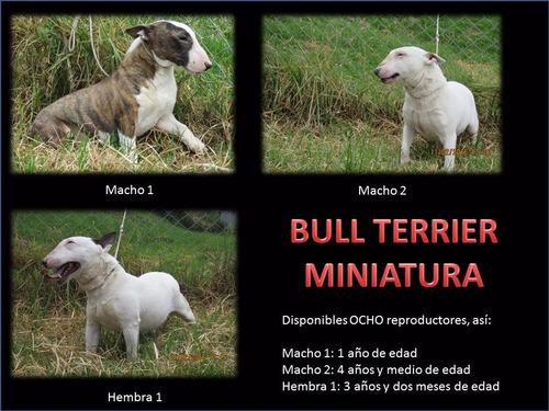 bull terrier miniatura pedigri / especializada en la raza