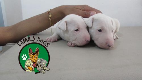 bull terrier perros