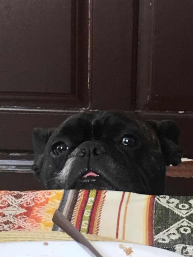 bulldog fraces