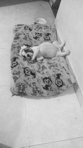 bulldog frances blanco