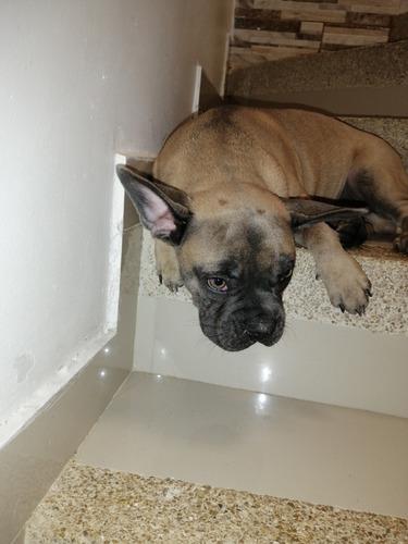 bulldog francés blue  cachorro