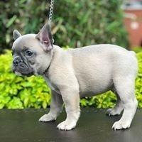 Bulldog Francés Blue Fawn Entrega Inmediata 2500000 En