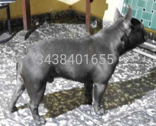bulldog francés blue sólido