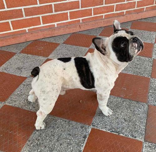 bulldog francés busca novia