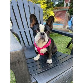 Bulldog Frances Cachorro