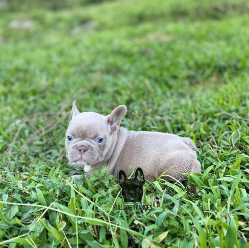 bulldog francés colombia