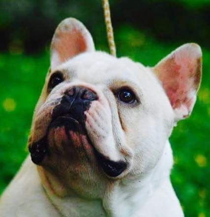 bulldog frances disponible para monta