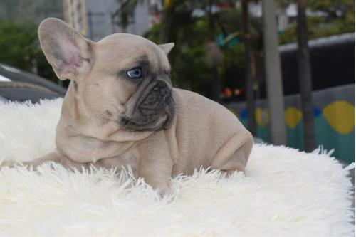 bulldog francés disponibles
